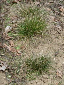 Native Clump Grass